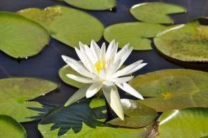 平塚バンク 蓮の花